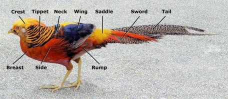 Parts of plumage - The different feathers as they are found on the live bird