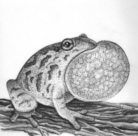 Spring peeper frog - This tiny North American frog fills the woods with  song in the spring
