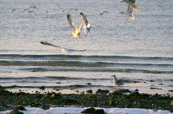 Feeding sea gulls - Sea gulls can be a telltale sign of food in the water
