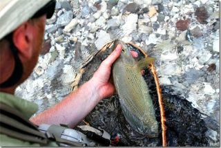 Great grayling release -