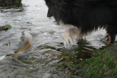 Back out here - GFF partner Martin's dog watches a large fish return to its right element