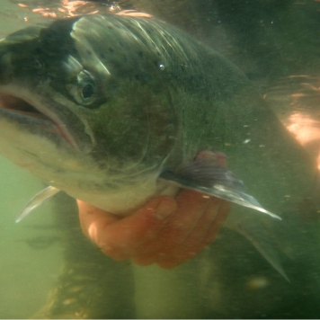 A steelhead underwater - Ready to be released