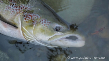 What it\'s all about - A large male Gaula salmon