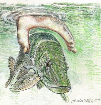 Northern Pike catch and release  - Coloured pencil of northern pike being released underwater