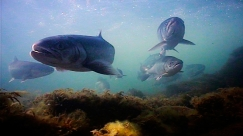 A school - A school of trout are caugth passing one of Niels Vestergaard\'s underwater cameras