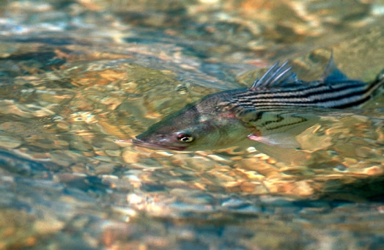 Shallow water striper -