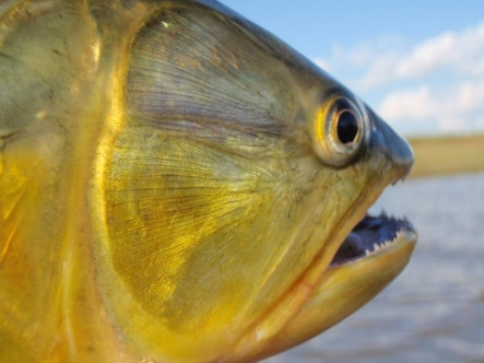 Striking head - The dorado has a striking pattern on the sides of the head