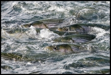 Stripers in the surface -