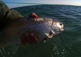 Sea trout love it - Most predatory fish will love this little fly
