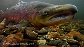 Underwater - The video contains some beautiful underwater shots of spawning salmon
