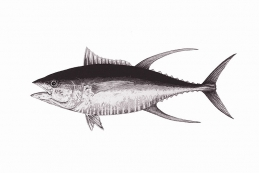 Yellow fin tuna -