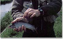 Danish grayling