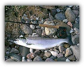 Sea trout on the Moyerfokker