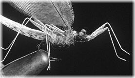 Mayfly detail