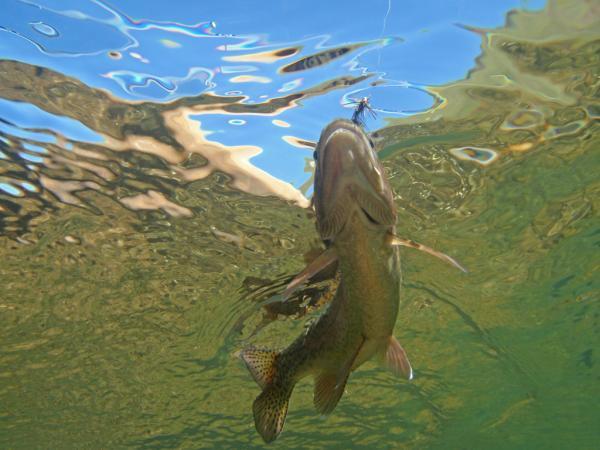 Rainbow Trout Underwater Global Flyfisher